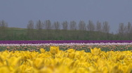 Stock Video Footage of Yellow tulip cultivation in The Netherlands