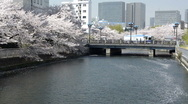 Stock Video Footage of Cherry Blossom along river
