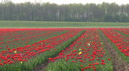 Tulip cultivation in The Netherlands Stock Footage
