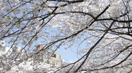 Stock Video Footage of Hanging Cherry Blossom branches