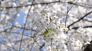 Stock Video Footage of Close-up of Cherry Blossom