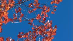 Aspen fall colour CU - stock footage