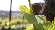 New Growth Pinot Noir 7526 Stock Footage
