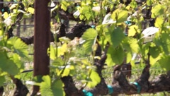 New Growth Pinot Noir  7520 Stock Footage