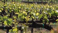 Pinot Noir Grape Vines 7517 - stock footage