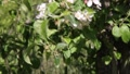 Apple Blossoms 7514 HD Footage