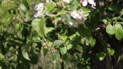 Apple Blossoms 7514 Stock Footage