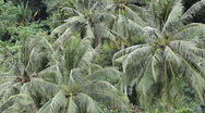 Stock Video Footage of Jungle Forest Beautiful Coconut Palm Trees in the Hill of Phuket Island Thailand