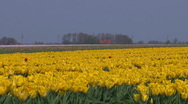 Yellow tulip cultivation in The Netherlands Stock Footage