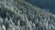 Stock Video Footage of Pine forest covered with snow on the mountain