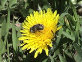 Flowering dandelion with bee, macro Stock Footage