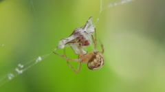 Spider Webbing Ant (HD) Stock Footage