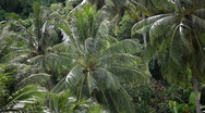 Stock Video Footage of Beautiful Coconut Palm Trees in the Hill of Phuket Island, Thailand