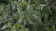 Jungle Forest Beautiful Coconut Palm Trees in the Hill of Phuket Island Thailand Stock Footage
