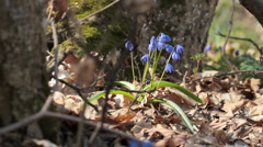 Scilla. Shot with slider shot. Stock Footage