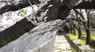 Stock Video Footage of Close-up of Japanese Cherry Blossom