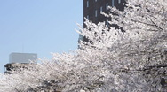 Stock Video Footage of Japanese Cherry Blossom