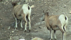 Mountain Goats in Alberta Rocky Mountains 2 Stock Footage