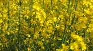 Pan along yellow oil seed rape crop flowers blowing in the wind in England Stock Footage