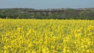 Stock Video Footage of Yellow flowers of oil seed rape with train crossing a viaduct in the background