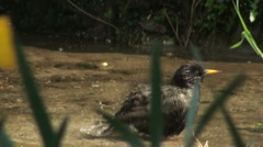 Stock Video Footage of Blackbird cooling off in a pond