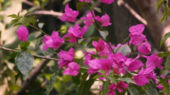 Bougainvillea Flowers Stock Footage