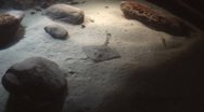 Aquarium - stingray 01 Stock Footage