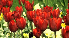 colorfull flowers of spring  - stock footage