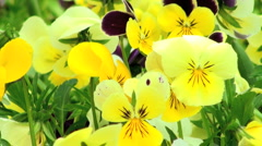 Colorfull flowers of spring  Stock Footage