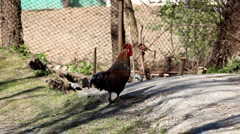 Cock Crowing, Chicken Rooster on a Countryside Road, Outside the Farm, Cockerel Stock Footage