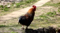 Cock Crowing, Chicken Rooster on a Countryside Road, Outside the Farm, Cockerel Footage