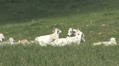 Italy Umbria white cows in Pasture Stock Footage