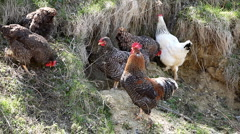 Female Chicken and Male Chicken Rooster on a Countryside Road, Outside the Farm Stock Footage
