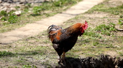 Stock Video Footage of Cock Crowing, Chicken Rooster on a Countryside Road, Outside the Farm, Cockerel