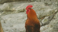 Stock Video Footage of Rooster Crowing Two takes (HD)