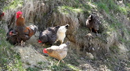 Stock Video Footage of Female Chicken and Male Chicken Rooster on a Countryside Road, Outside the Farm