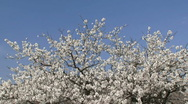 Stock Video Footage of Almond tree