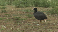 Lone Coot feeding Stock Footage