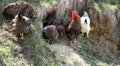 Female Chicken and Male Chicken Rooster on a Countryside Road, Outside the Farm Footage
