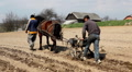 Traditional Way of Sowing Corn on a Corn Field Hill, Old Style Hard Labor, Horse Footage