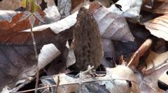 Black Morel Mushroom Stock Footage