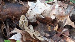 Hidden yellow morel mushroom picked Stock Footage