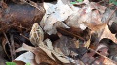Small yellow morel mushroom Stock Footage