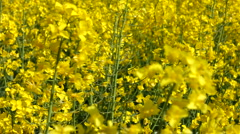Track through yellow oil seed rape crop flowers blowing in the wind Stock Footage