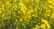 Track through yellow oil seed rape crop flowers on a windy day Stock Footage