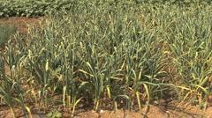 Italy onions tilts to garden Stock Footage