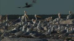 Pelicans with Franklin's Gulls Stock Footage