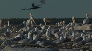 Stock Video Footage of Pelicans with Franklin's Gulls