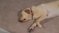 Sleeping Labrador Woken Up By A Noise Stock Footage