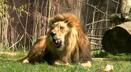 Stock Video Footage of Two lions